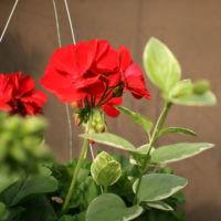 "10"" Geraniums with vine"