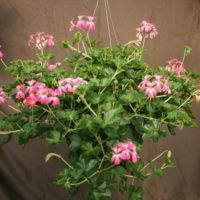 """10"""" Cascade Geraniums"""