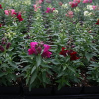 "4"" potted annuals"